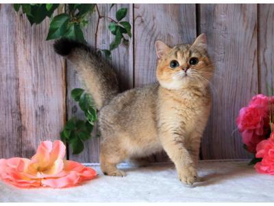 Elit Cattery sell British kittens, Ukraine, Russia, Donetsk